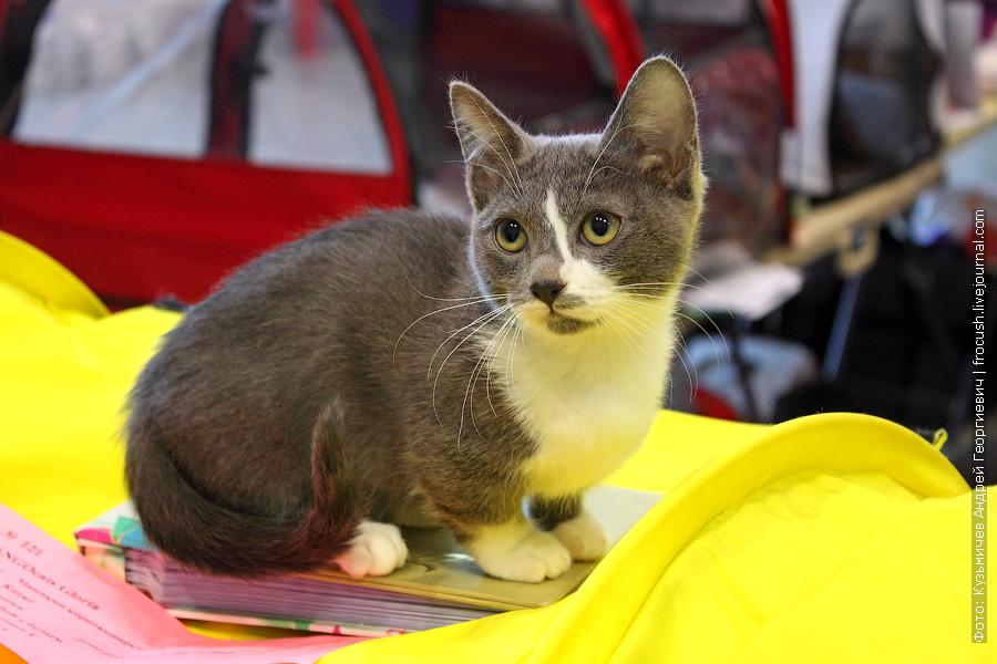 Манчкин короткошерстный. Кошка TANGOcats Gloria. Дата рождения 06.11.2011. Владелец Г.Коломыцин. Клуб «Алиса-Бест», Москва