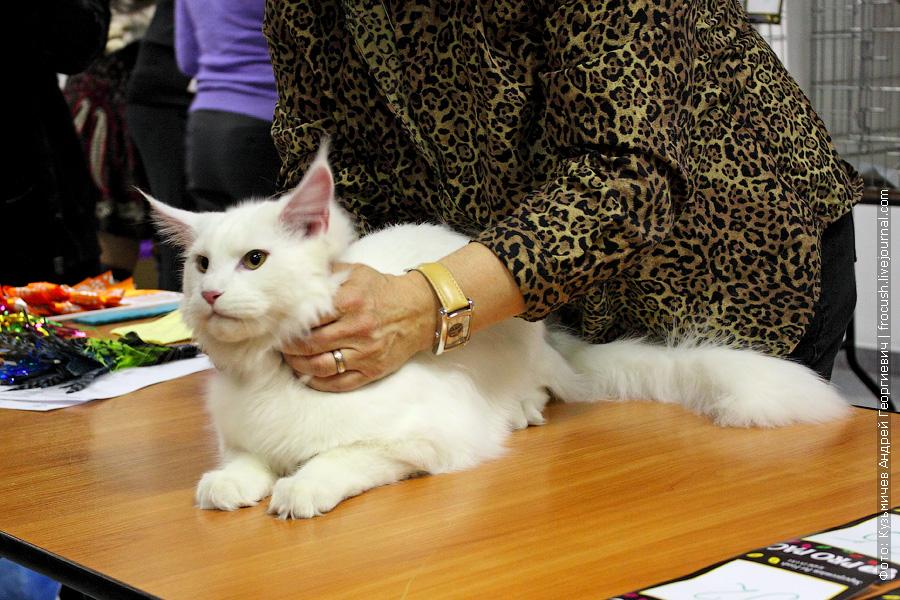Murmurcat Dolf на выставке кошек «Русское сафари» 25 февраля 2012