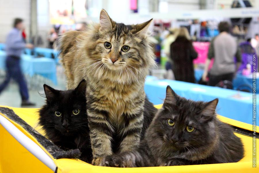 Курильский Бобтейл на выставке кошек