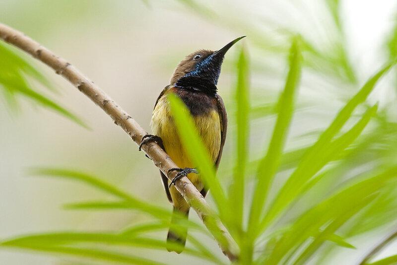 Желтобрюхая нектарница (самец)