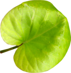 MRD_Toe-Tally-Faerie-leaf(4).png