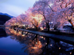 Япония, сакура,  ночь.png