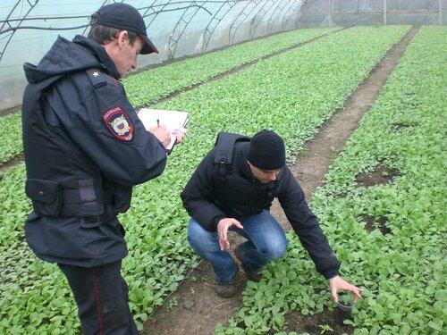 Как выращивать коноплю в теплице