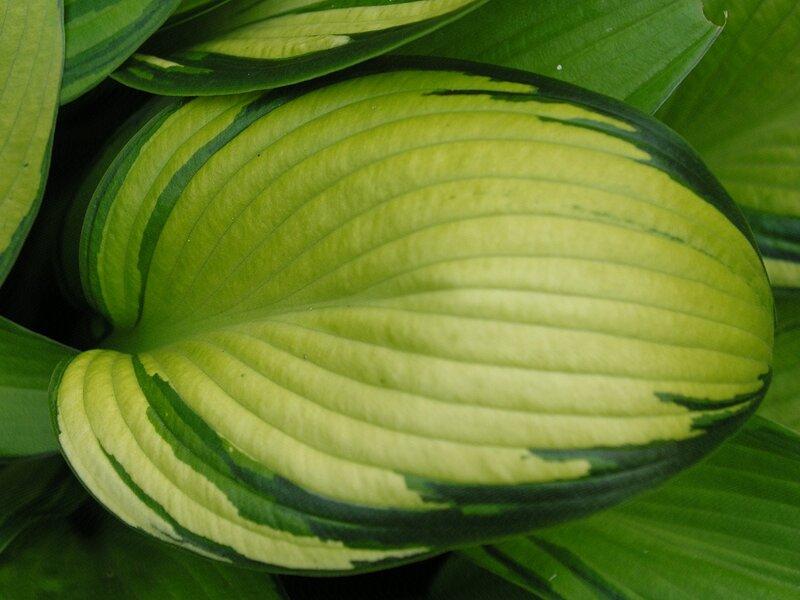 Мorning light (лист)