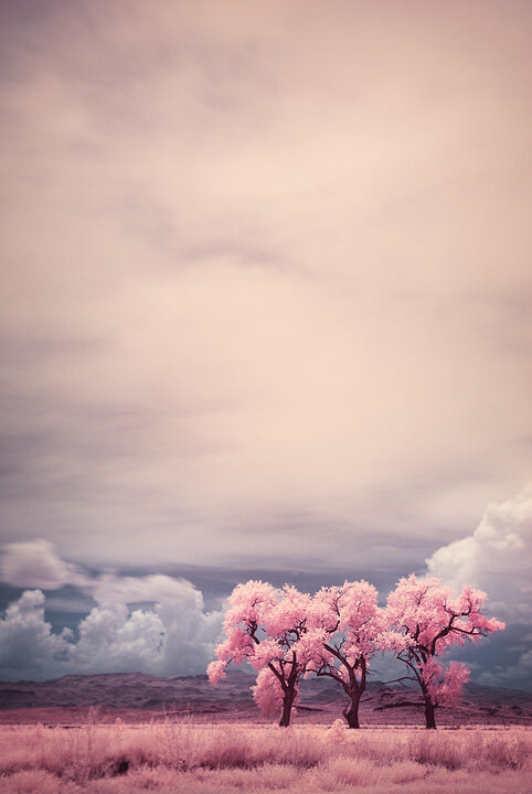 Three Trees in Infrared