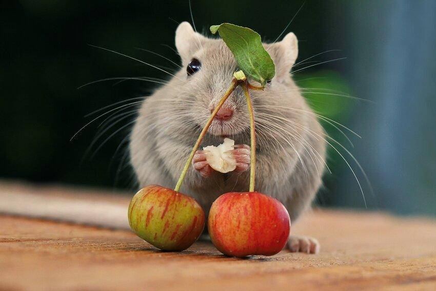 фото живая мышка
