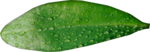 MRD_Toe-Tally-Faerie-leaf(2).png