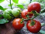 Помидор, томат сорт Афонские, Greek Domata