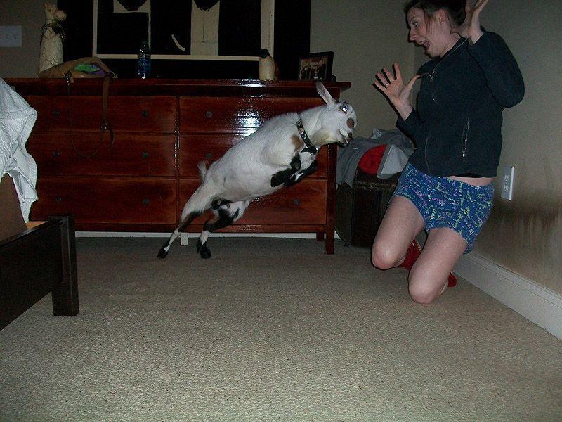 19. За секунду до того, как она навсегда возненавидит коз.