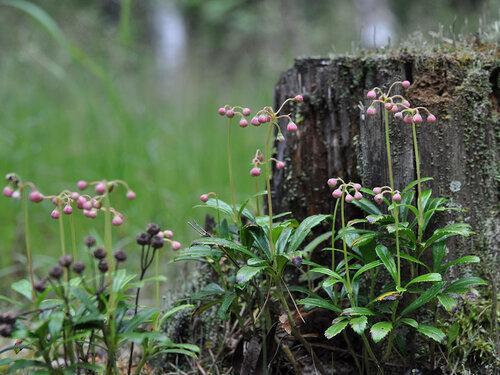 Зимолюбка зонтичная (Chimaphila umbellata) Автор фото: Владимир Брюхов