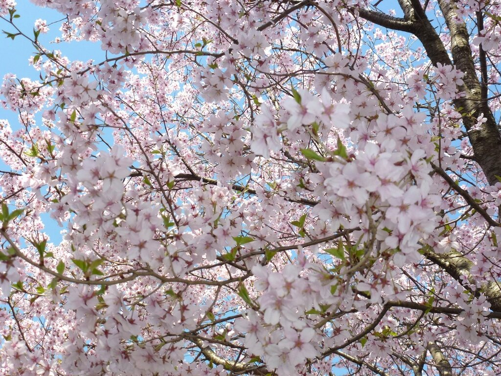 Цветение Сакуры, Тояма, Япония.