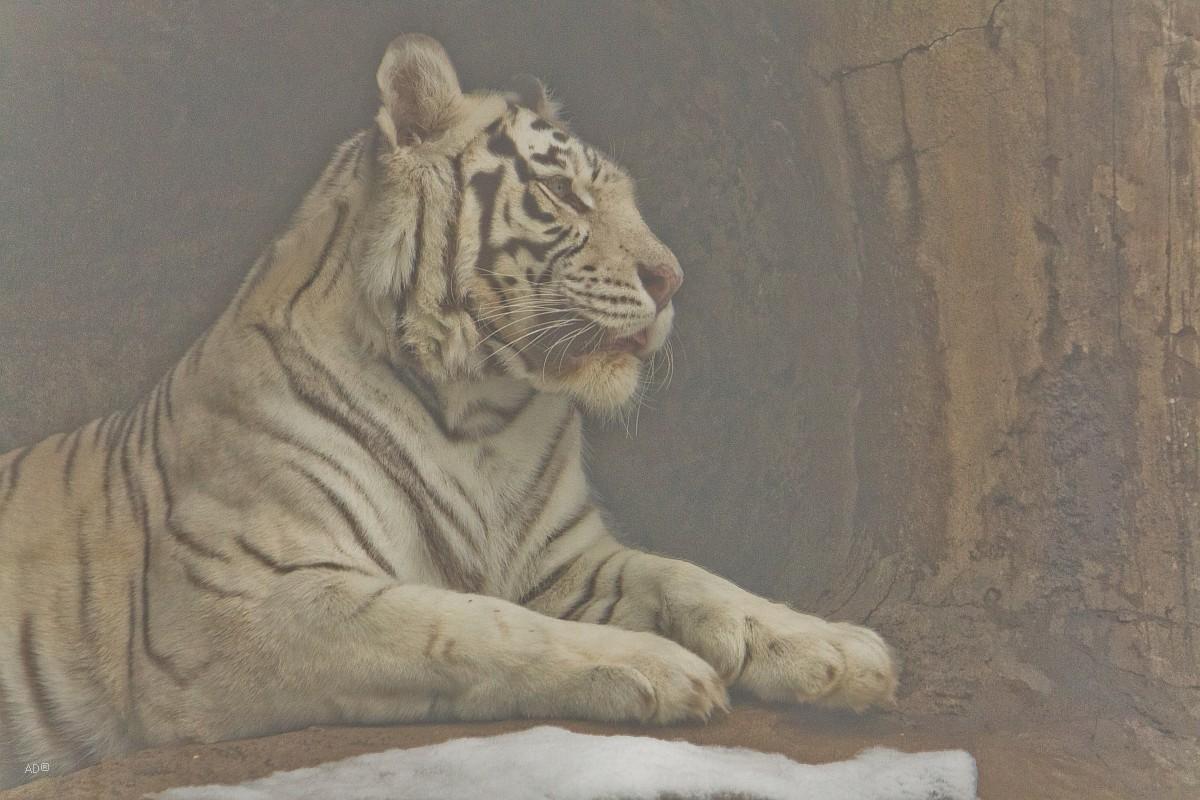 Белый тигр в закрытом вольере