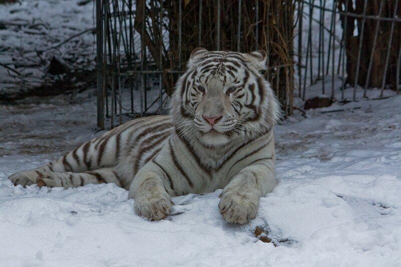 Белый тигр в открытом вольере