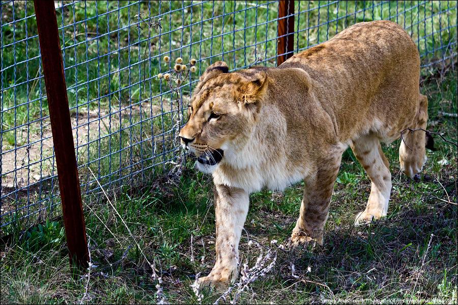 Львы в