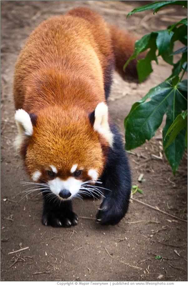 Red panda.