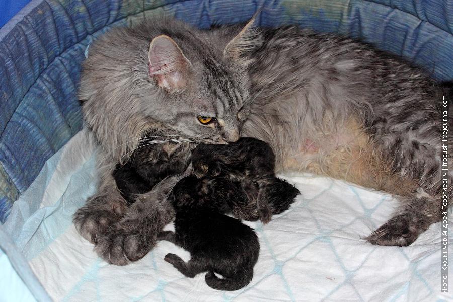 Мейн-кун кошка и новорожденные котята Мейн-кун