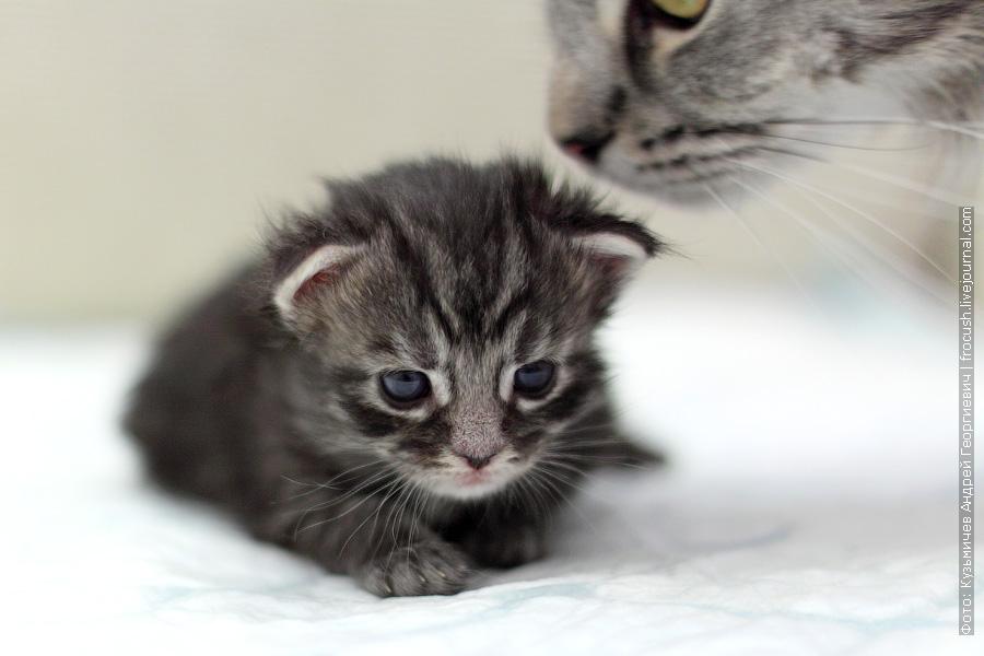 Котенок Мейн-кун мальчик Murmurcat Bartholomew (Барт). Окрас черный пятнистый серебряный (ns 24)
