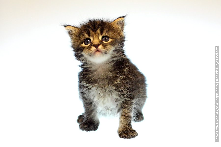 кошка котенок Мейн-кун