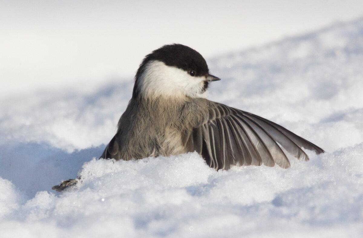 гаечка фото птица