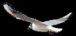 feli_syd_flying seagull.png