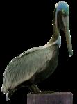 feli_syd_pelican.png