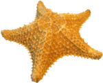 NLD I Sea You Addon Star fish.png