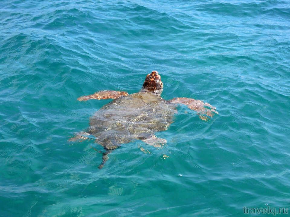 Черепаха Каретта
