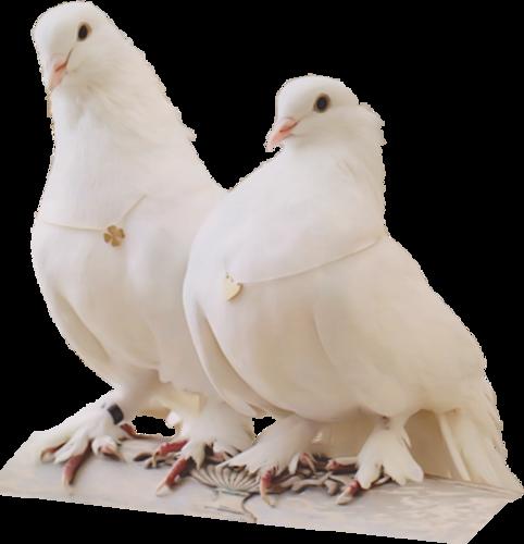 Gerry-Dieren 103 - duiven - 15 febr 2012.png