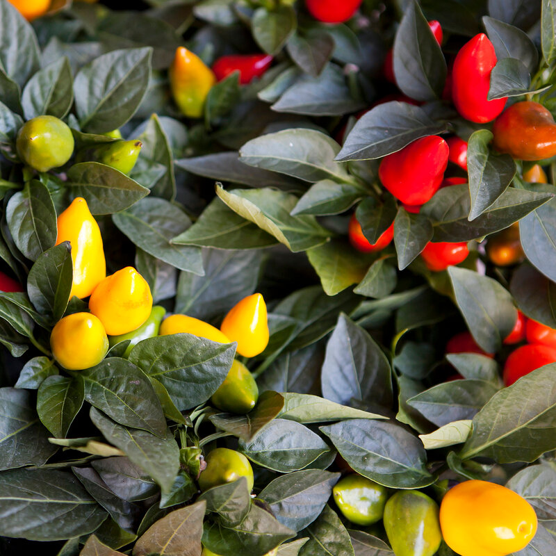 red ornamental capsicum plants in red pot
