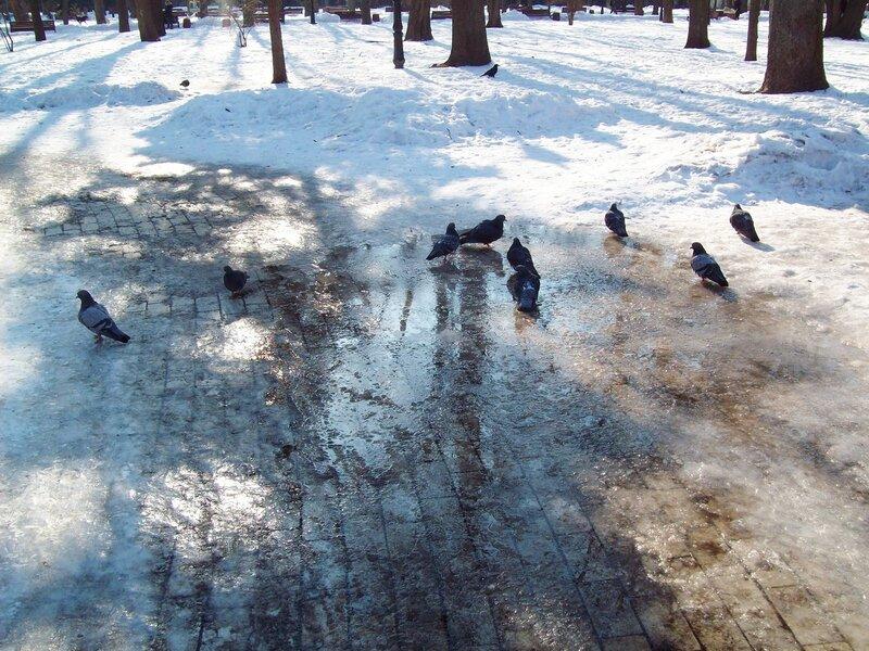 Купание голубей в талой воде