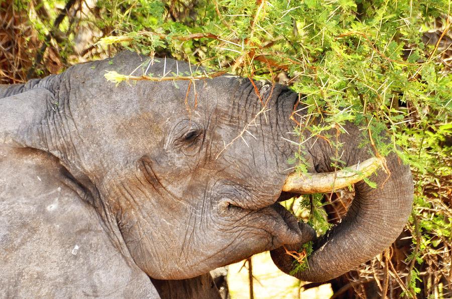 Слон на границе с Ботсваной