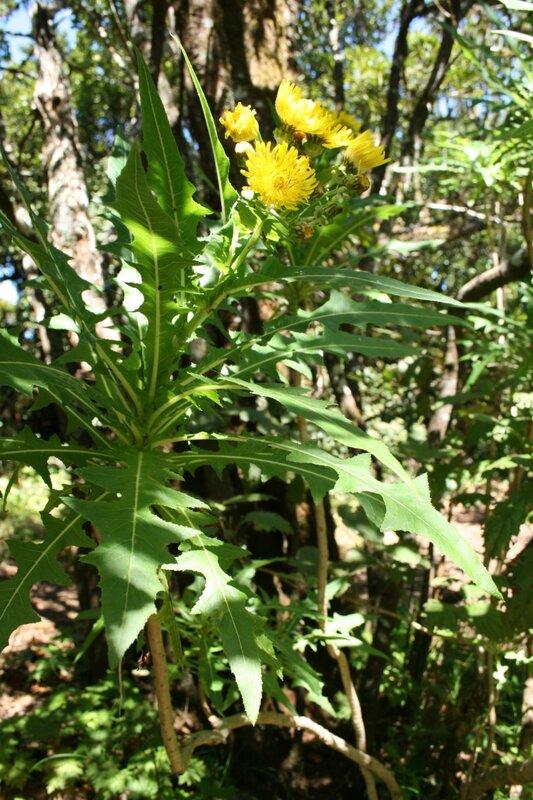 Одуванчики в реликтовых лесах Анаги, Тенерифе
