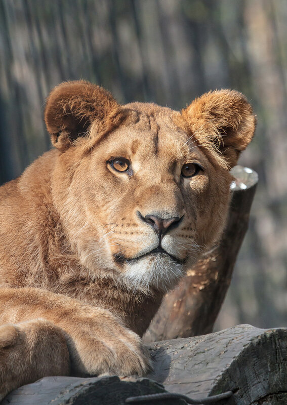 сестра львица