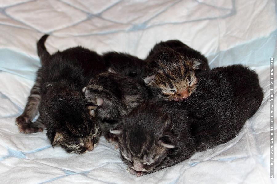двухдневные котята Мейн-кун