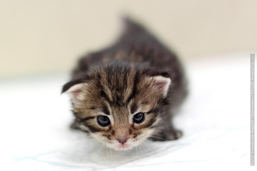 Котенок Мейн-кун девочка Murmurcat Marjorie (Мардж). Окрас черный пятнистый (n 24)