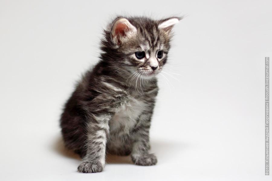 котенок Мейн-кун в возрасте одного месяца