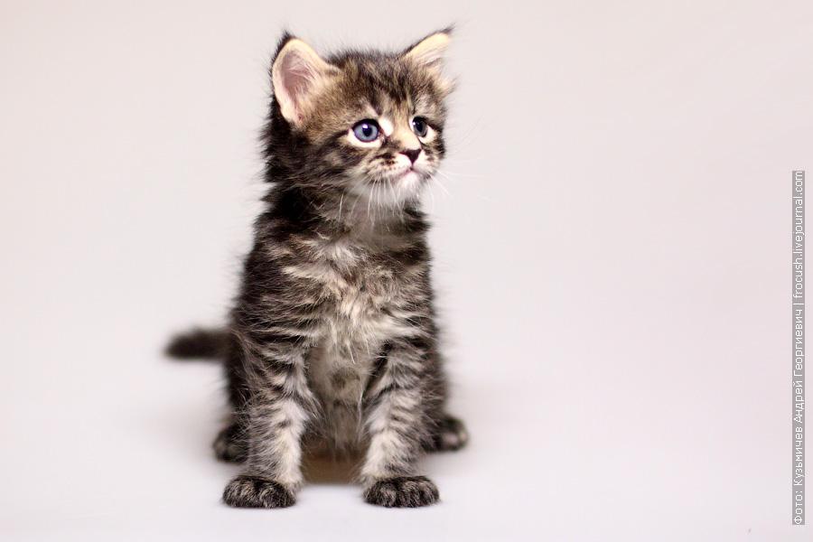 одномесячный котенок Мейн-кун