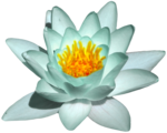 feli_syd_water lily.png