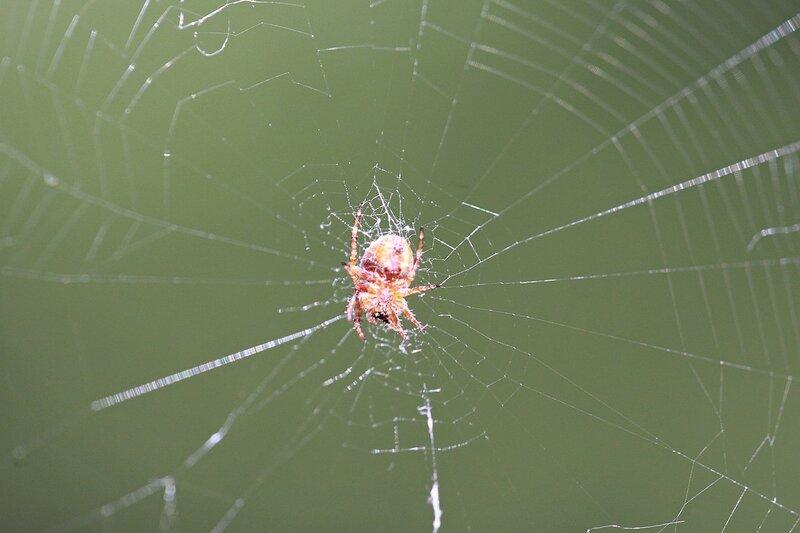 паук в центре паутины в ожидании добычи