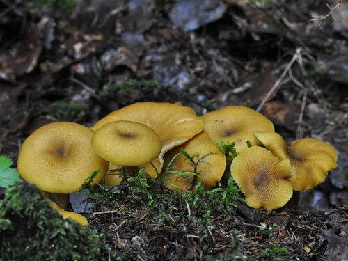 Рядовка оливково-жёлтая (Tricholomopsis decora) Автор фото: Владимир Брюхов