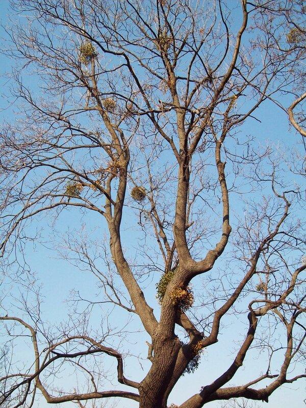 Дерево Мариинского парка