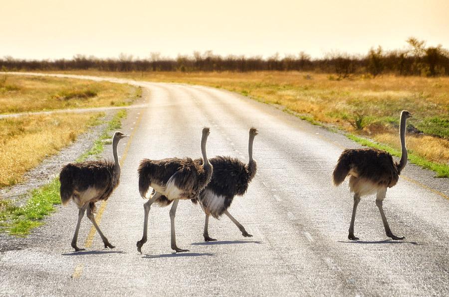 Страусы переходят дорогу