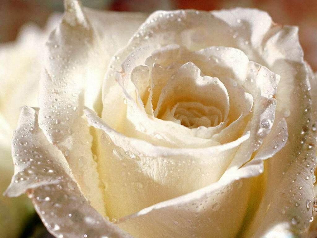 Белая роза символ чего