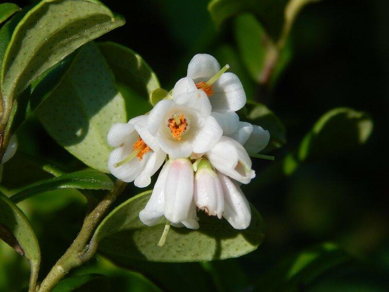Цветок брусники
