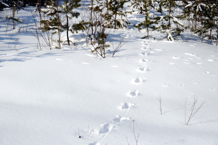 фото следы лисы на снегу