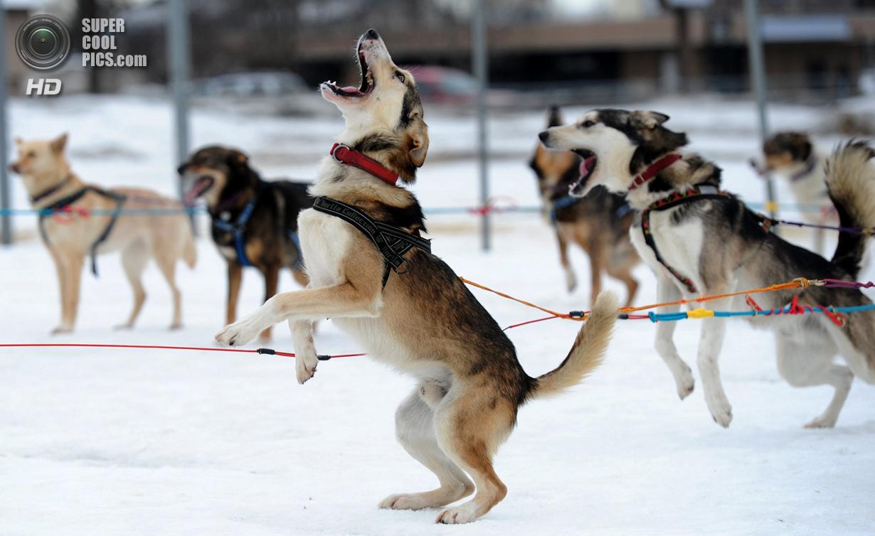 США. Анкоридж, Аляска. 28 февраля. Упряжка Мишель Филлипс на разогреве за день до старта. (Erik Hill