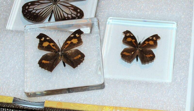 Бабочки №97 - Носатка листовидная (Libythea celtis)