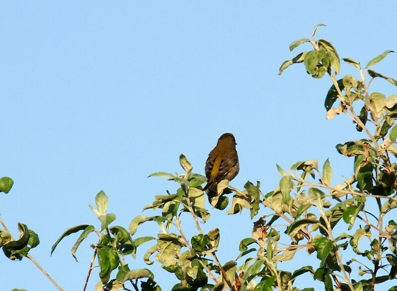 Птица темнокоричневая.