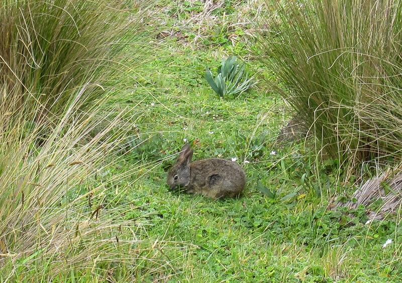 Бразильский кролик