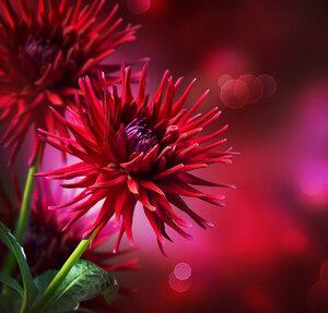 Dahlia Autumn flower design